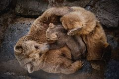 Brown bears breast feeding baby stock photos