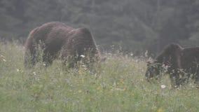 Brown bears, Transylvania, Romania stock video footage
