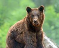 Brown bears. In the Carpathians. Ukraine Stock Photos