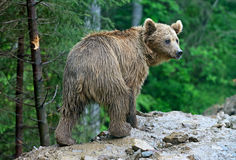 Brown bears in the Carpathians. Royalty Free Stock Image