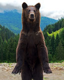 Brown bears in the Carpathians. Stock Photography
