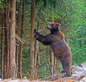 Brown bears in the Carpathians. Royalty Free Stock Photos