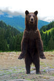 Brown bears Royalty Free Stock Photos