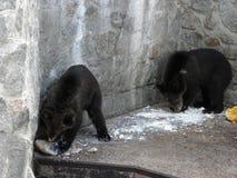 Brown bears Stock Photo
