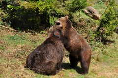 Brown bears in fight Royalty Free Stock Image