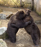Brown bears fighting stock photography