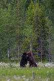 Brown bears fighting in Finnish field with flowers Stock Photo