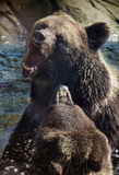 Brown Bears fighting Royalty Free Stock Images