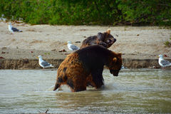 Brown bears fighting in water Royalty Free Stock Photos
