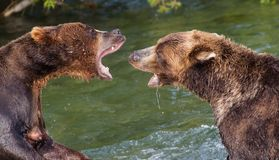 Brown Bears Fighting in the Water Royalty Free Stock Photography