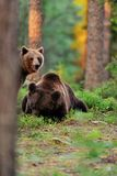Brown bears in the forest Stock Photography