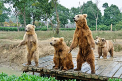 Brown bears. Four brown bears playing together royalty free stock photos