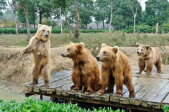 Brown bears. Four brown bears playing together Stock Images