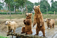 Brown bears. Four brown bears playing together Royalty Free Stock Images