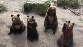 Brown bears stock footage
