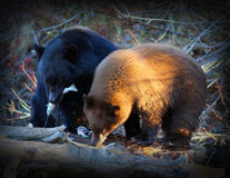 Brown Bears. A mother brown bear with her older cub eating salmon royalty free stock photos
