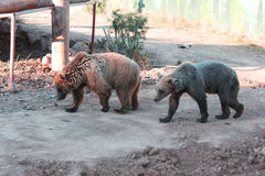 Brown bears in the mud. At the zoo stock photography