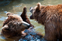 Brown bears playing Royalty Free Stock Image