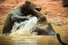 Brown bears playing. A couple of brown bears playing stock photography