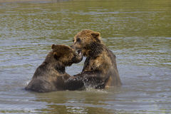 Brown Bears Playing in the water stock images