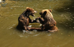 Brown bears playing in water Stock Images