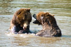 Brown bears playing in water. Two brown bears playing in lake or river Stock Photo