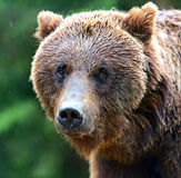Brown bears. Portrait of brown bears in their natural habitat Royalty Free Stock Image