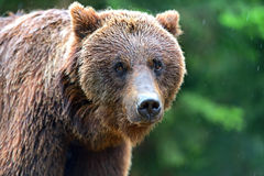 Brown bears. Portrait of brown bears in their natural habitat Stock Photo