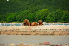 Brown bears resting in the shore Royalty Free Stock Image