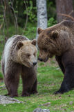 Brown bears in showing affection Stock Photography