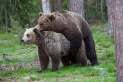 Brown bears in showing affection. A high resolution image of a brown bear in a tiaga forest Royalty Free Stock Photos
