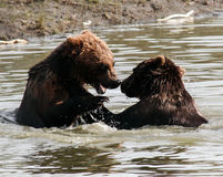Brown Bears Splash and Play Stock Photography