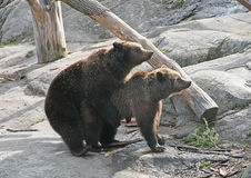 Brown bears. Spring. Instinct Stock Image