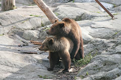 Brown bears. Spring. Instinct Stock Photography