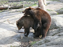 Brown bears. Spring. Instinct. Marriage playing of brown bears in the spring Stock Photos