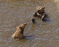 Brown bears swimming in lake Royalty Free Stock Photos