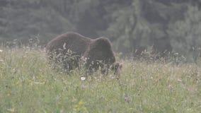 Brown bears, Transylvania, Romania stock video
