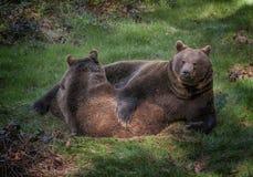 Brown bears. Two brown bears on meadow stock photos