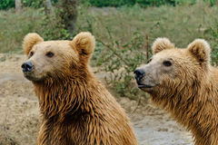 Brown bears. Two brown bears playing together stock photography