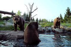 3 Brown Bears. Two bears on the water's edge, one bear in the water on a clear evening in July Stock Photo