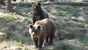 Brown bears stock footage