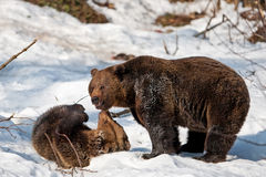 Brown Bears (Ursus arctos) Royalty Free Stock Photography