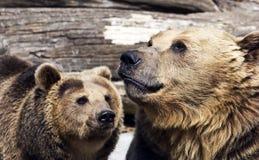 Brown bears (Ursus arctos arctos). Couple playing Royalty Free Stock Photography