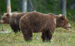 Brown bears (Ursus Arctos) Stock Photography