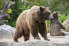 Brown bears, Ursus arctos. In a zoo Royalty Free Stock Images