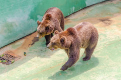 Brown bears waiting for food Royalty Free Stock Photo