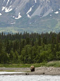 Brown Bears walking on shoreline Stock Photography