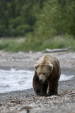 Brown Bears walking on shoreline Royalty Free Stock Images