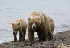 Brown Bears walking on shoreline Stock Photos