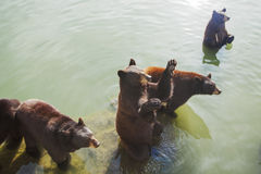 Brown bears in water stock images